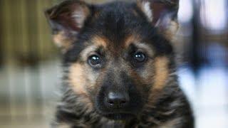 getlinkyoutube.com-German Shepherd Puppy obedience. Dunder's first tricks.
