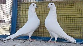 Patti waly pigeons kabootar width=