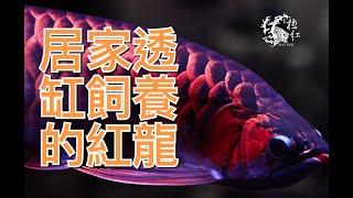 getlinkyoutube.com-2016 MAX RED 極紅 龍 51cm  個體