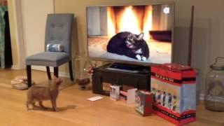 getlinkyoutube.com-Cat watching Lil BUB's Magical Yule Log Video