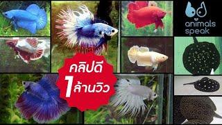 getlinkyoutube.com-Animals Speak [by Mahidol] สนุกกับสีปลากัด ตะลึงสารพัดลายกระเบน (22 มิถุนายน 2557)