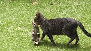 getlinkyoutube.com-白しま子猫をくわえて引っ越す母猫とはぐれそうな黒しま子猫 kitten and mother