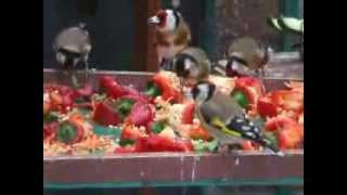 getlinkyoutube.com-Goldfinches in my aviary