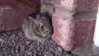 getlinkyoutube.com-Catching a Baby Screaming Bunny