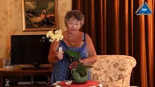 getlinkyoutube.com-Что делать чтобы цвели орхидеи, Как заставить цвести орхидею дома
