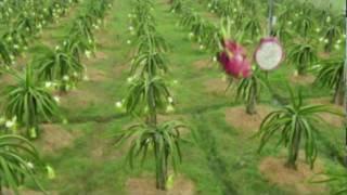 getlinkyoutube.com-Vietnam Dragon Fruit