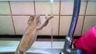 Lavaboda ellerini yıkayan bukalemun