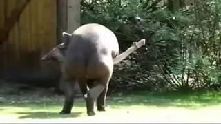 getlinkyoutube.com-PENE DE 1,50 METROS. EL PENE DEL TAPIR. Uno de los más grandes del reino animal