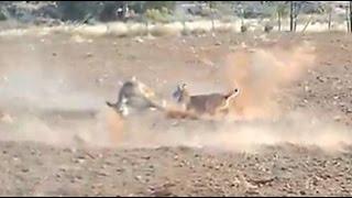 getlinkyoutube.com-Bobcat Attacks and Kills a Deer (HD)