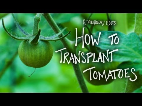 How to Transplant Tomatoes - Farming/Gardening Lesson  - Revolutionary Roots