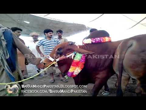 Most Beautiful Bull 2013 in Shahpur Kanjra