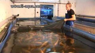 getlinkyoutube.com-Til-Aqua Natural Male Tilapia Hatchery
