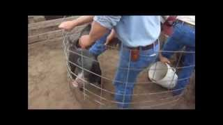 getlinkyoutube.com-Castrating piglets