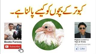 getlinkyoutube.com-Kabootar k bacho ko kaisay palna hai | desi tarika | Boota Farooq