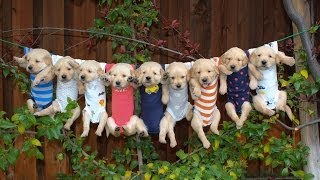 getlinkyoutube.com-Most Adorable Golden Retriever Puppies  (Music: Oceans of Love by DidiPop)