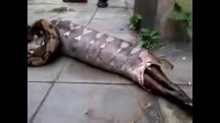 getlinkyoutube.com-Worlds biggest snake Anaconda, swallowing a cow and vomitting the  same