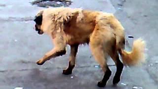 getlinkyoutube.com-كلب يرقص...في جلولاء