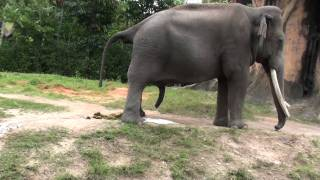 getlinkyoutube.com-Best Elephant Pee and POO