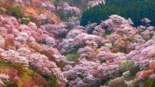 吉野山心沁みいる山桜〜日本の花旅 一目千本桜〜