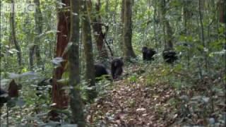 getlinkyoutube.com-Violent chimpanzee attack - Planet Earth - BBC wildlife
