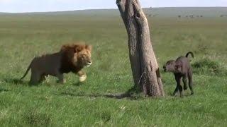 getlinkyoutube.com-【弱肉強食】ライオンが孤立するバッファローの子を襲う