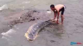 getlinkyoutube.com-Heboh, Ikan Monster Berukuran Sekitar 2 Meter Terdampar di Sungai Ciliwung