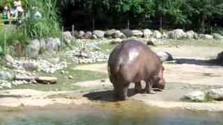 getlinkyoutube.com-Hippo butt explosion