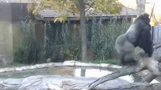 getlinkyoutube.com-Vicious Gorilla Chase/Fight at Omaha Zoo