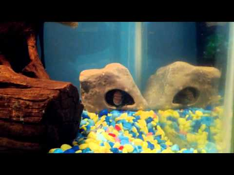 kribensis cichlid sexing and breeding update