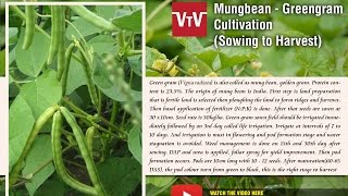 getlinkyoutube.com-Mungbean- Greengram cultivation