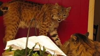 getlinkyoutube.com-The Scary Sounds that a Wild Bobcat makes.  Rarely heard.