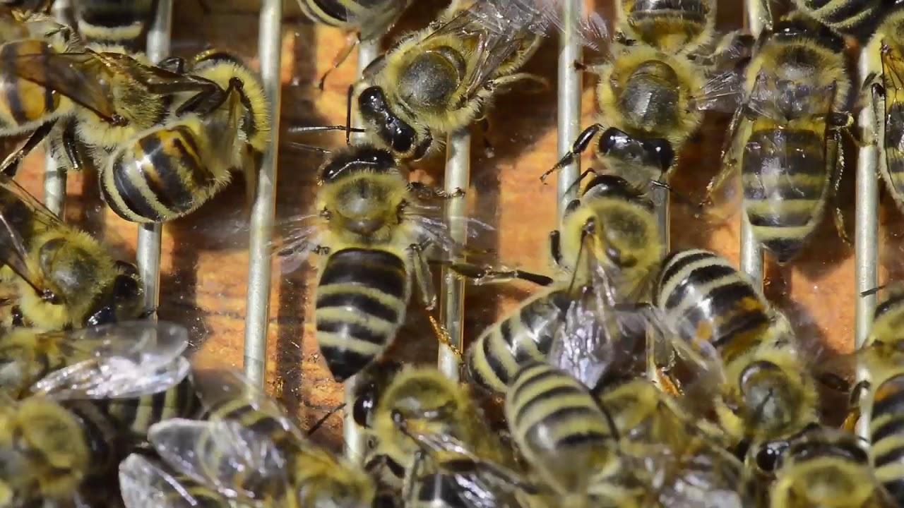 Sakupljanje pčelinjeg otrova u 2019