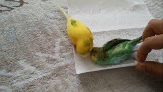 getlinkyoutube.com-Muhabbet Kuşu Ölen Eşini Bırakmıyor !!!