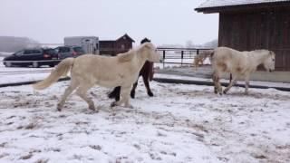 14.01.2017 - Ponys haben Spass auf dem Sandplatz