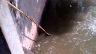 getlinkyoutube.com-fish netting tilapia at kali mas river surabaya 20nov2012