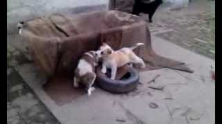 getlinkyoutube.com-central asian ovcharka puppies - psychological warfare