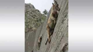 getlinkyoutube.com-[KOAM-TV] 20150626 화제의 영상_암벽타는 염소들_ The Crazy Mountain Goat Climbs Almost Vertical Walls [코엠TV]