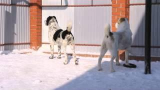 getlinkyoutube.com-ЛЮБИМАЯ ШАХНАЗА и АРДАГЕР - собаки питомника ТИМЕРТАШ