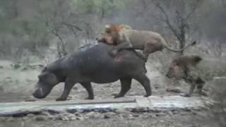 getlinkyoutube.com-Lions Killing Hippo - 4 Diffirent Cases