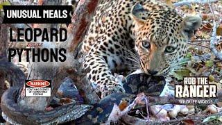 getlinkyoutube.com-Leopard Eats A Pair Of PYTHONS!