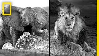 getlinkyoutube.com-Michael Nichols: Photographing Africa's Wildest Beasts | Nat Geo Live