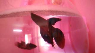 getlinkyoutube.com-Betta fish mating and laying eggs