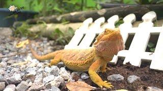 getlinkyoutube.com-เบี๊ยด ดรากอน (Bearded Dragon)