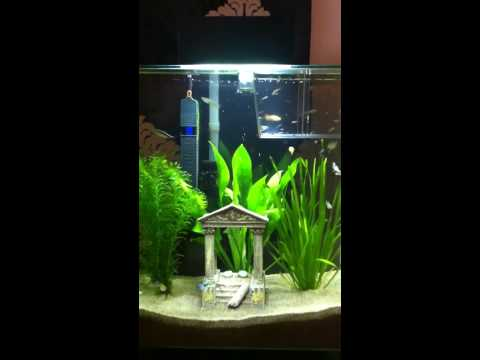 Guppy tank with fry
