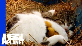 A Momma Cat and Her Yellow, Feathered Kittens width=