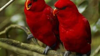 Burung Lovebird Merah Suara Gacor