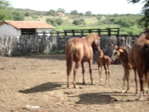 POTRO QUARTO DE MILHA EM QUIXERAMOBIM-CE NASCIDO EM 23/06/2011 FONE:(85)99888871/(88)92644442