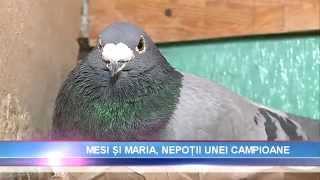 getlinkyoutube.com-Nocturna, porumbelul-campion al României, are 2 nepoți: să îi cunoaștem pe Mesi și Maria!