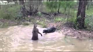 getlinkyoutube.com-Sadis Pertarungan Kanguru vs Anjing