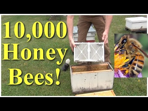 Yikes! 10,000 Bees Installing A Package Of Bees For Beekeeping